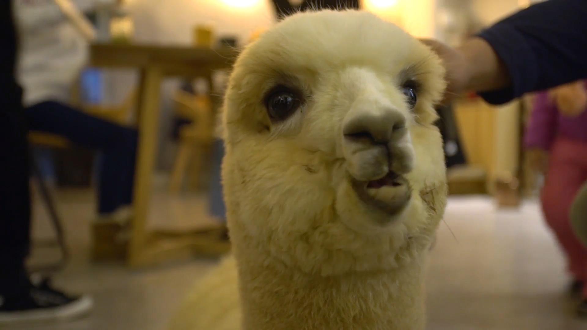 Baby alpacas in Chinese restaurant bring joy to customers