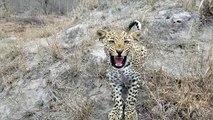 Un photographe se retrouve face à face avec un léopard