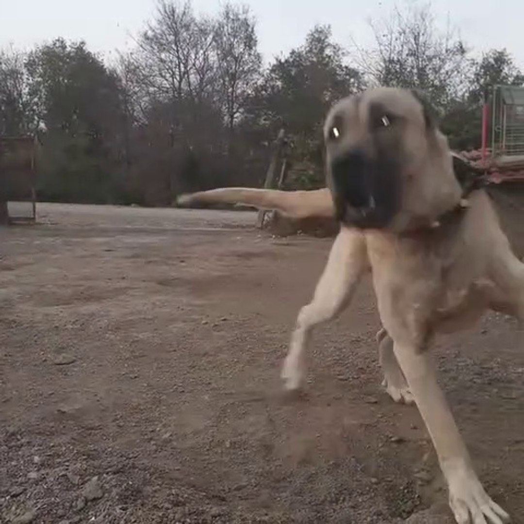 SERT ve ADAMCI DEV ANADOLU COBAN KOPEGi - ANGRY and HARD-HiTTiNG  GiANT ANATOLiAN SHEPHERD DOG