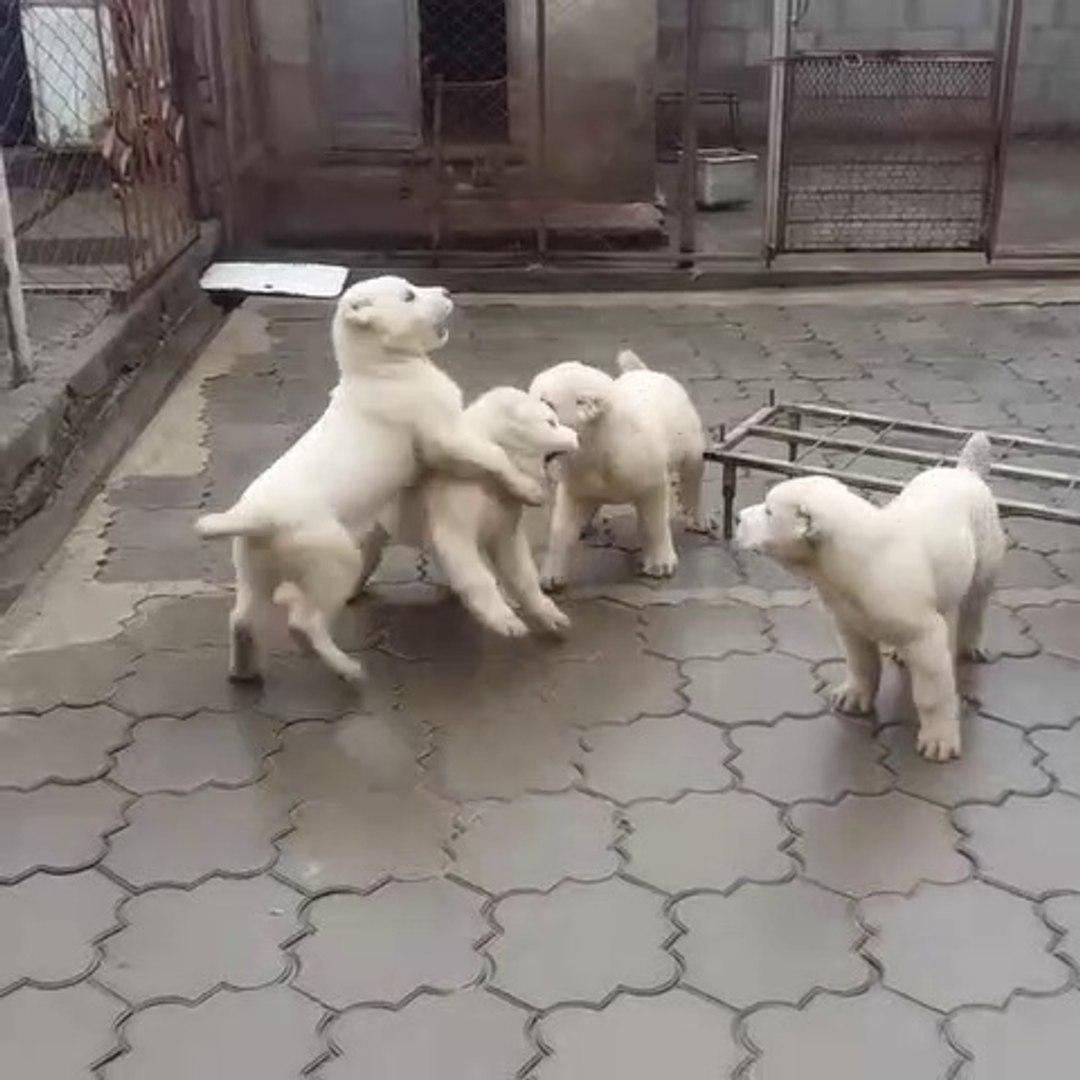ALABAY COBAN KOPEK YAVRULARI EGZERSiZLERi - ALABAi SHEPHERD DOG PUPPiES EXERCiSE