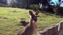 Ce male kangourou va tout faire pour rejoindre sa femme derrière la barrière...