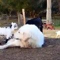 Ce chien a du mal à dormir à cause de toutes ces chèvres... Adorable