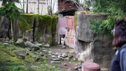Bouncy Mountain Goat Kids Arrive at Oregon Zoo