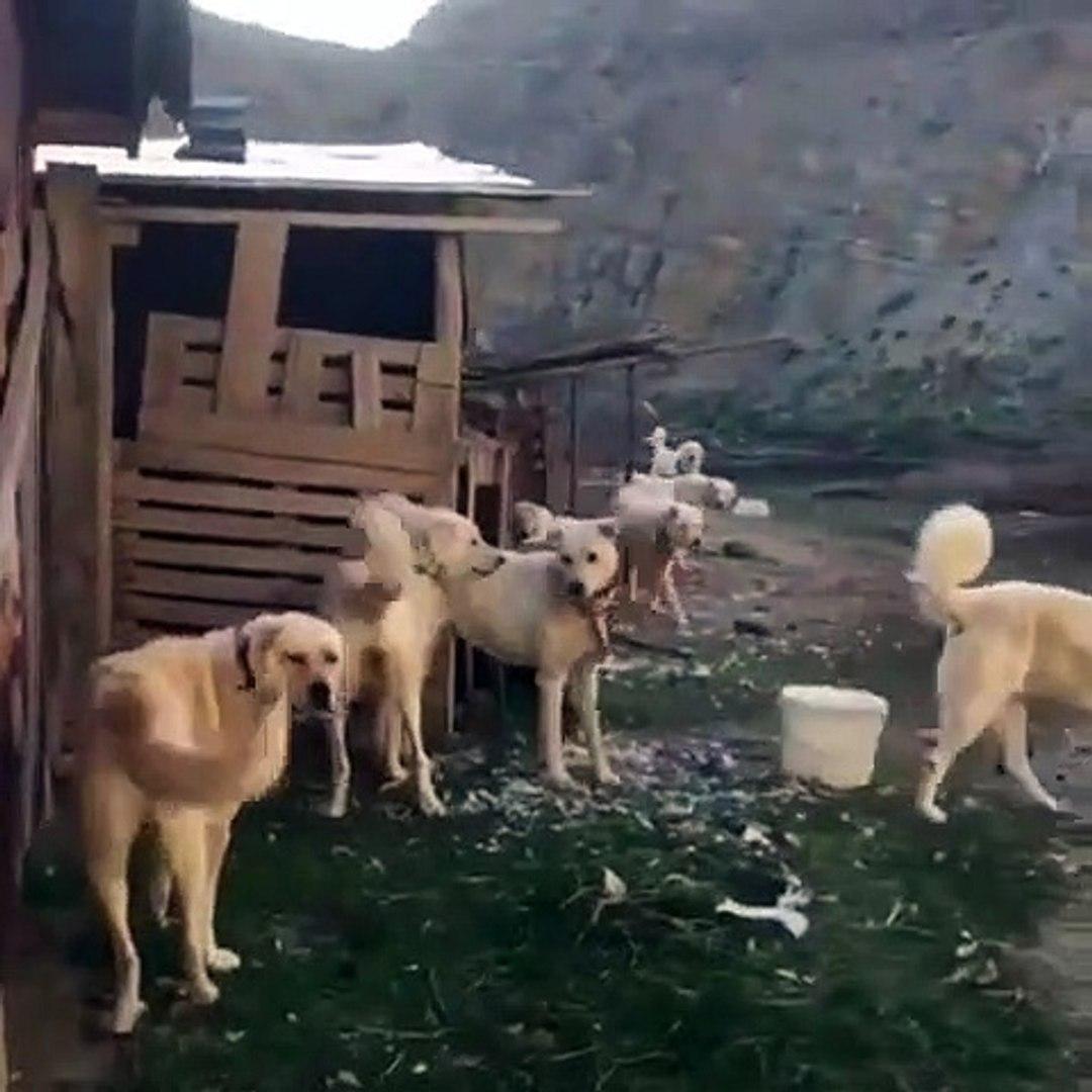 AKBAS COBAN KOPEKLERi BiRARADA - AKBASH SHEPHERD DOGS