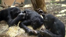 Psychologist Observes Chimpanzee Duo Dancing In Behavior Never Seen Before