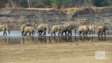 Elephants Crossing the Luangwa River