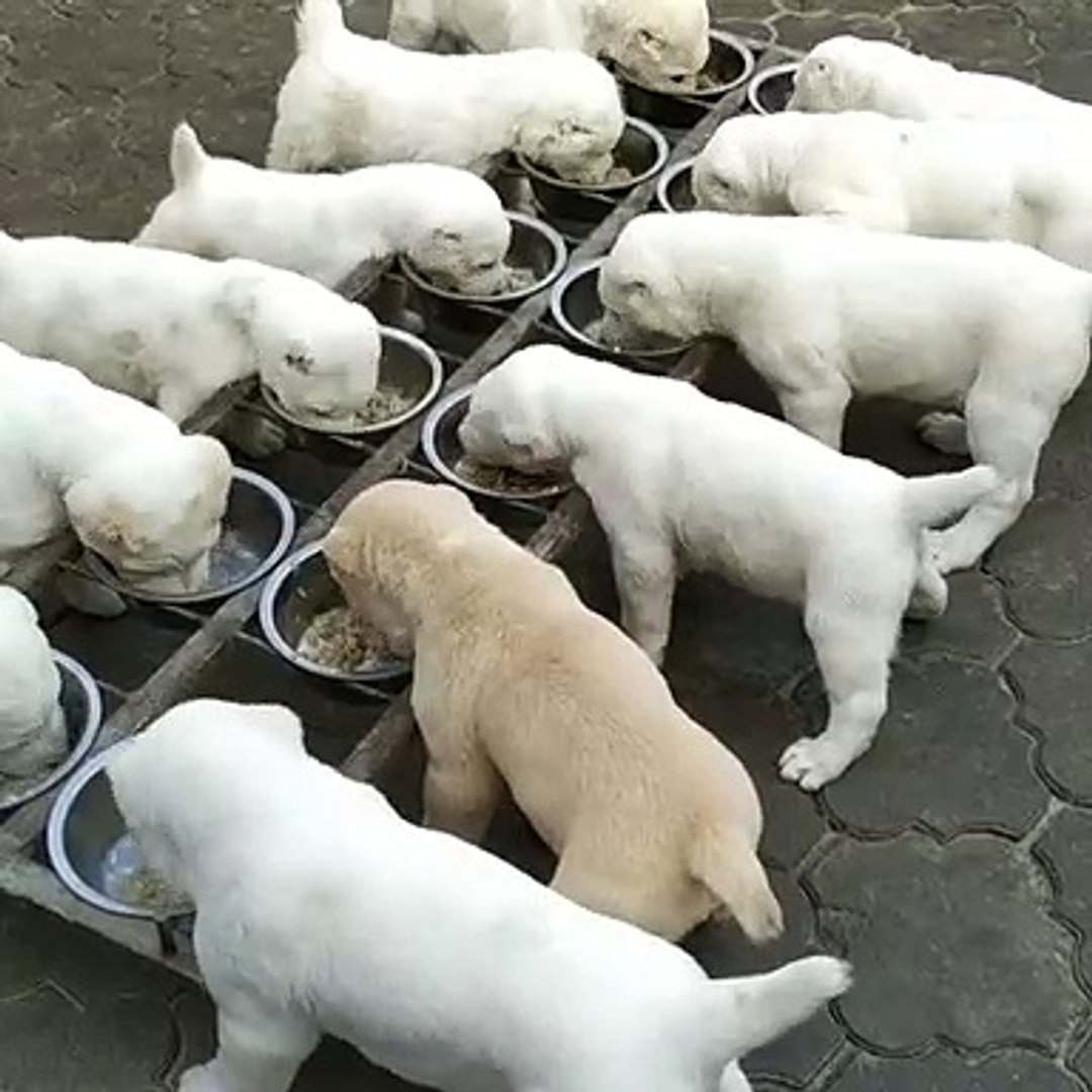 ALABAY COBAN KOPEGi YAVRULARI KAHVALTI SAATi - ALABAi SHEPHERD DOG PUPPiES TiME BREAKFAST
