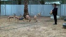 """Gazzeli hayvansever güzel gözleri ile bilinen ceylanlara """"gözü gibi"""" bakıyor (1)"""