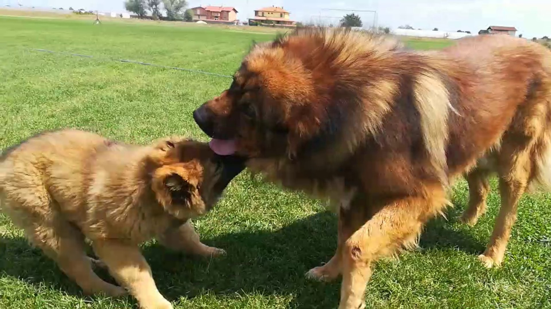 KAFKAS COBAN KOPEGi YAVRUSU VS - CAUCASiAN SHEPHERD DOG PUPPY VS