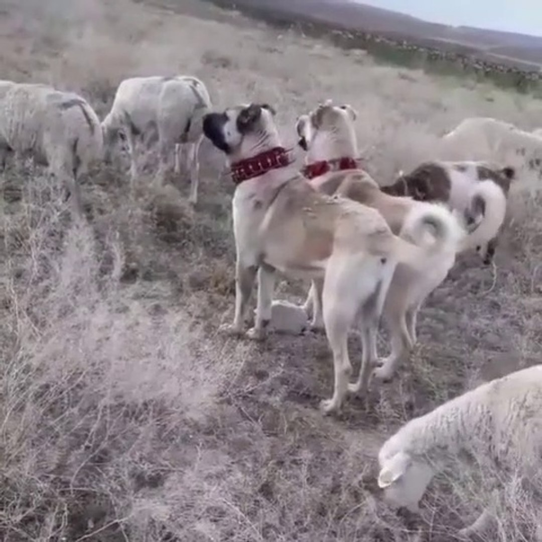 ANADOLU COBAN KOPEKLERi KOYUN NOBETi HAZIR KITA - ANATOLiAN SHEPHERD DOGS and SHEEPS