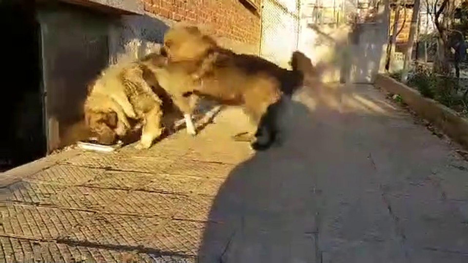KAFKAS COBAN KOPEKLERiNiN SEViMLi OYUNLARI - CAUCASiAN SHEPHERD DOGS CUTE PLAY
