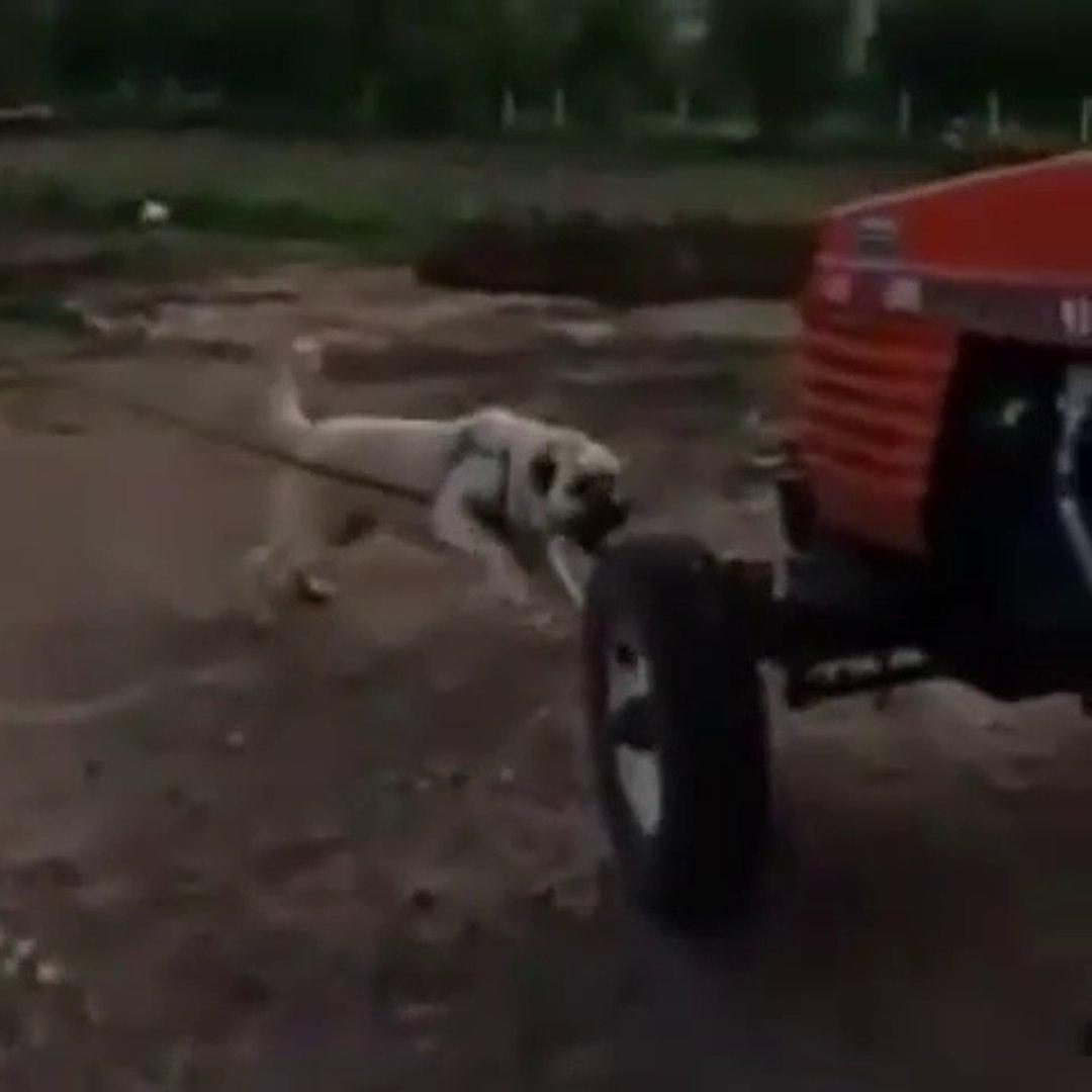 CILGIN COBAN KOPEGi TRAKTORU YiYECEK - ANATOLiAN SHEPHERD DOG vs TRACTOR