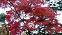 Autumn Leaves & Cherry Blossoms Together in Japan