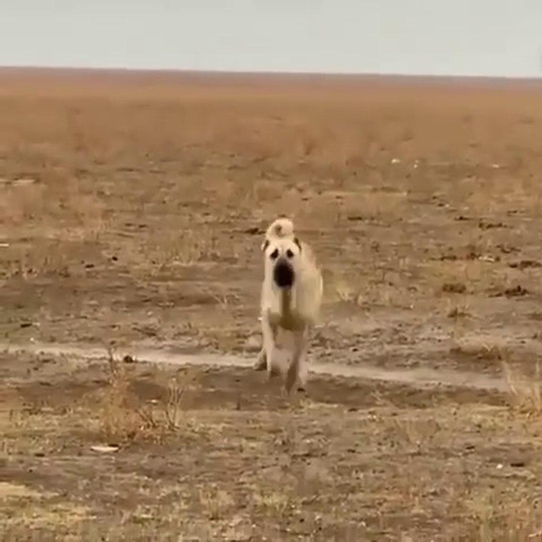 AKSARAY MALAKLI COBAN KOPEGi SABAH SPORUNDA - MALAKLI SHEPHERD DOG SPORT MORNiNG
