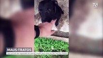 Cinco pit bulls são resgatados em canil de criador de cães para rinhas da região de Curitiba