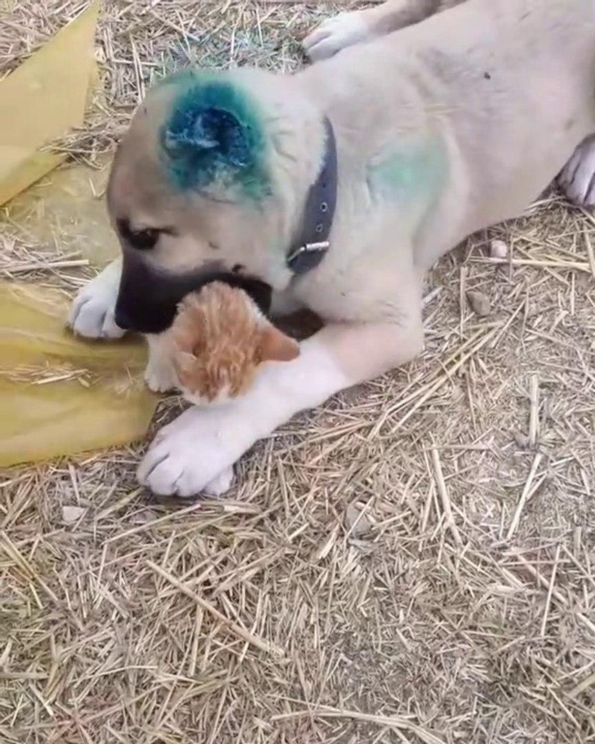 KEDi VS ANADOLU COBAN KOPEGi - CAT VS ANATOLiAN SHEPHERD DOG