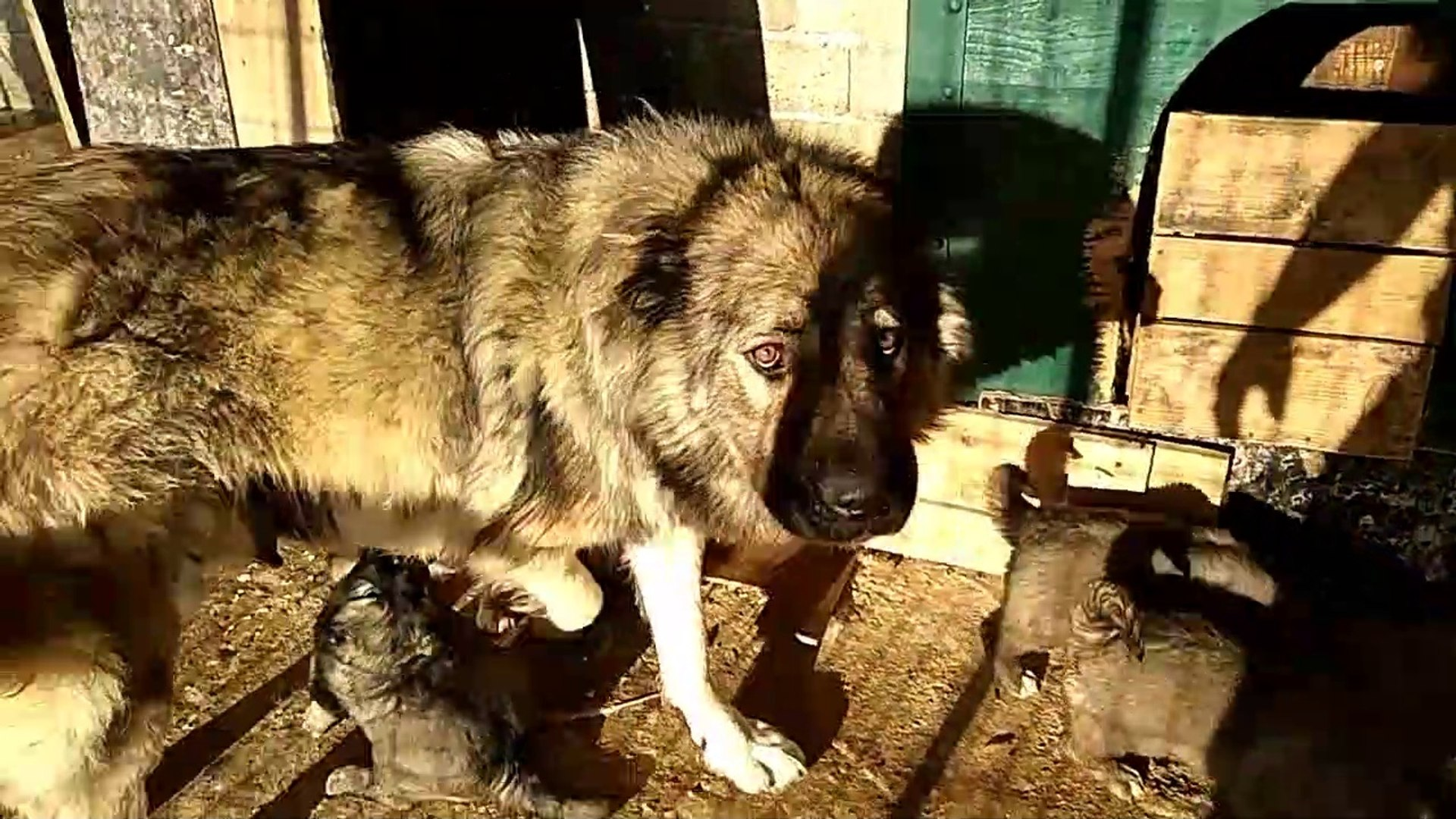 KAFKAS COBAN KOPEGi ve YAVRULARI - CAUCASiAN SHEPHERD DOG and PUPPiES