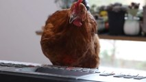 Student teaches chicken how to play piano