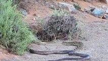 Un cobra rencontre une énorme vipère heurtante