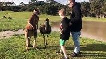Ce kangourou déteste les enfants... Bim