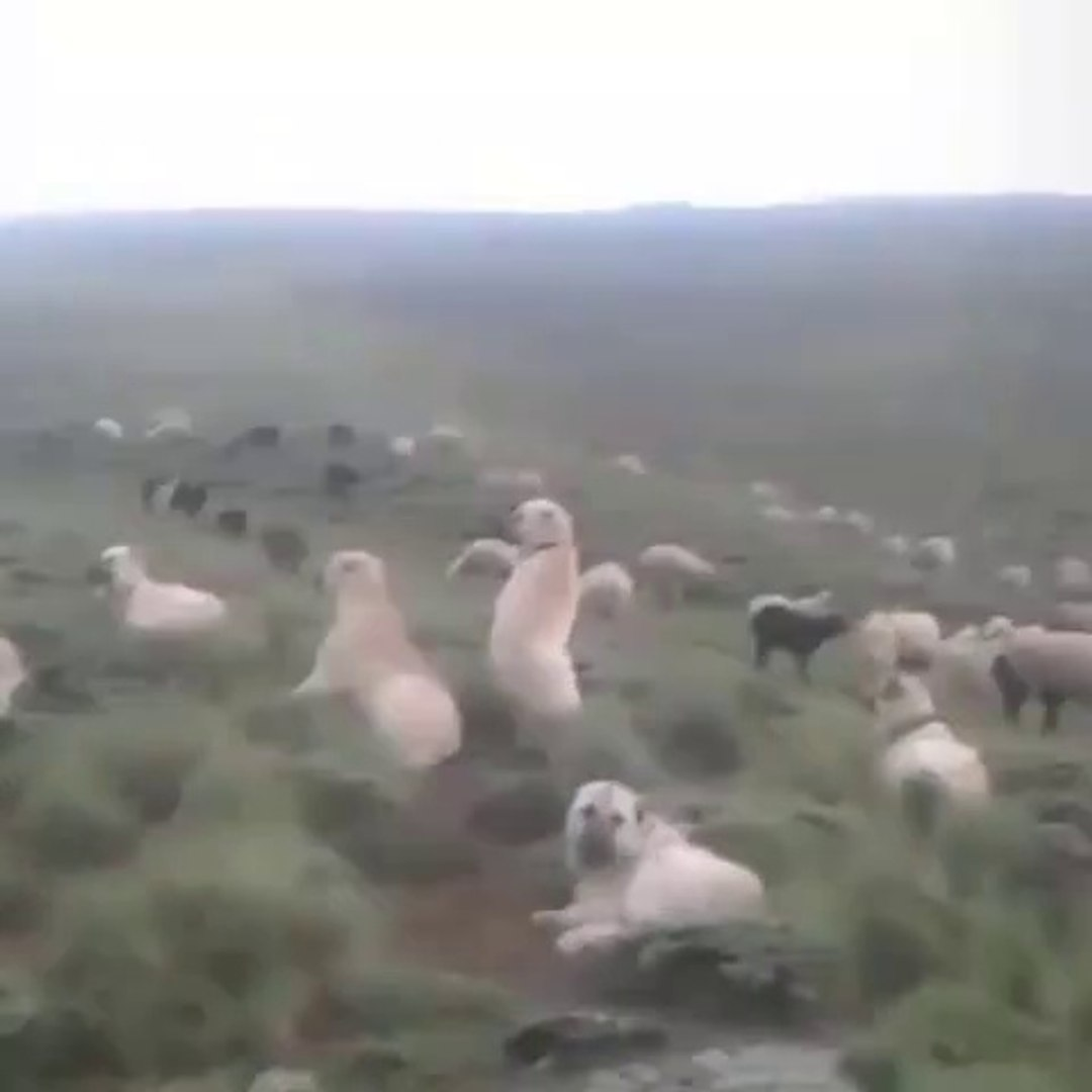 KANGAL ve COBAN KOPEKLERi KURT PUSUSUNDA - KANGAL DOG and SHEPHERD DOGS at MiSSiON SHEEPS