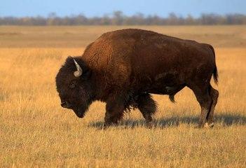 Le bison d'Amérique du Nord retrouve ses terres d'origines