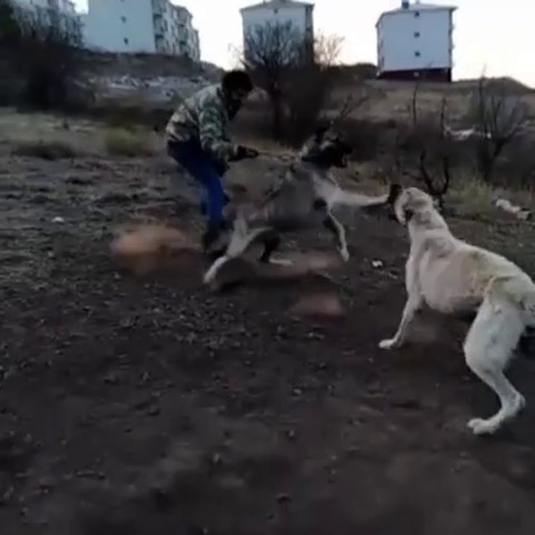 COBAN KOPEKLERi KARSILASMASI - ANATOLiAN SHEPHERD DOGS VS