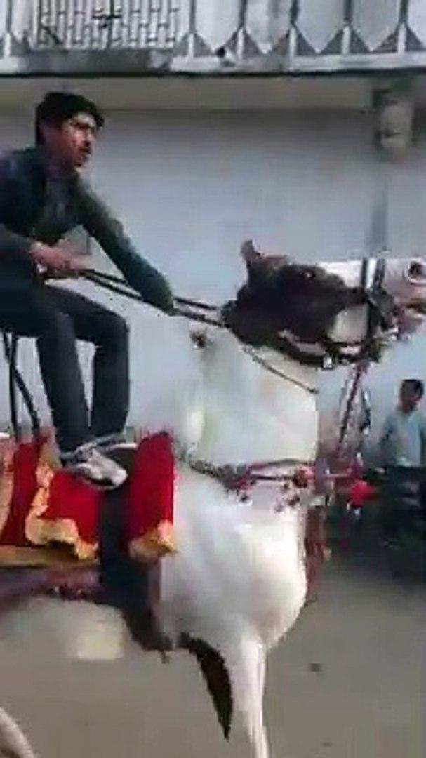 horse dancing