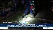 Petugas Damkar Tangsel Temukan Ular Piton di Gorong-gorong