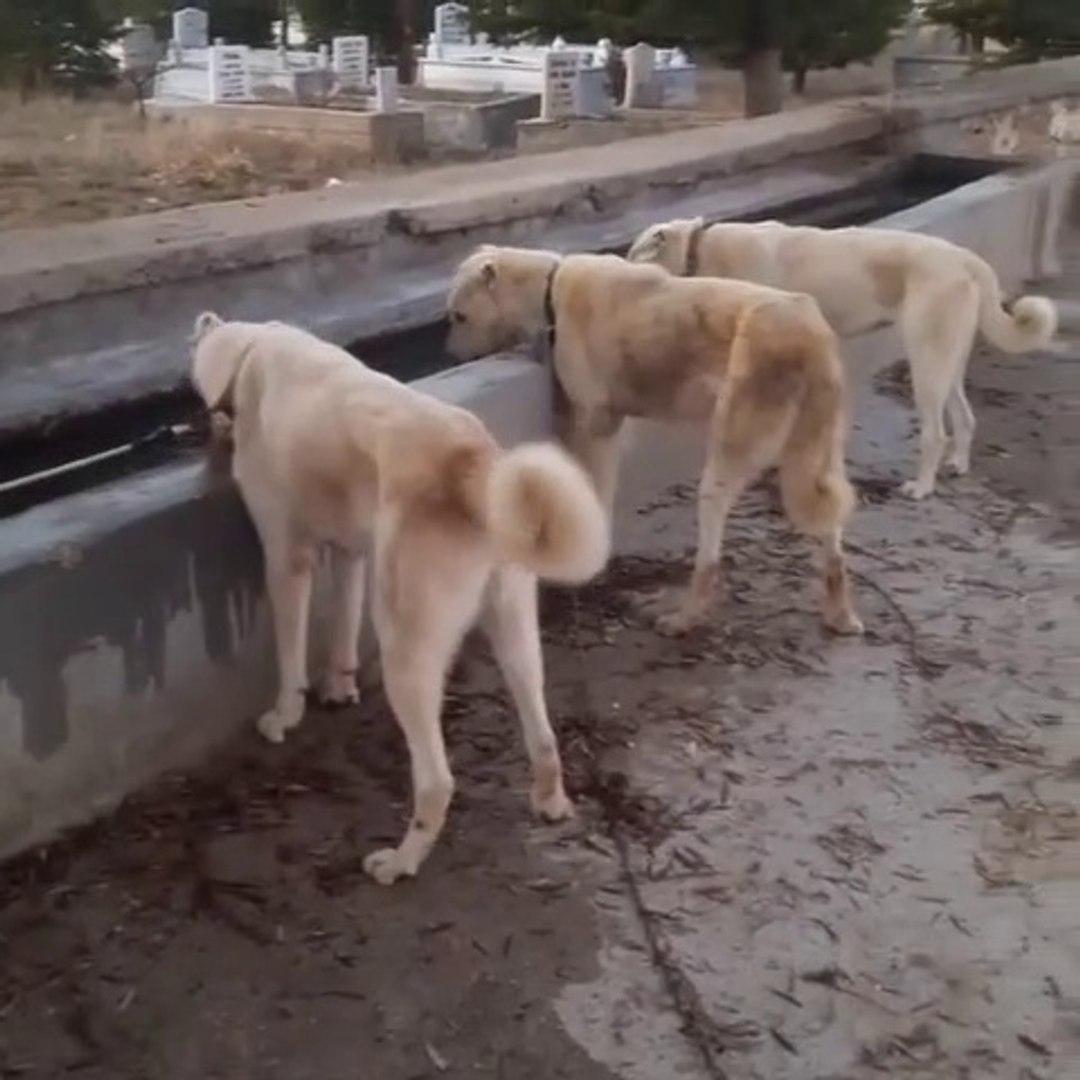 AKBAS COBAN KOPEKLERi GOREV SONRASI SU MOLASI - AKBASH SHEPHERD DOGS