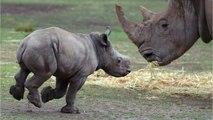 Baby Black Rhino Makes His Life Debut On Christmas Eve