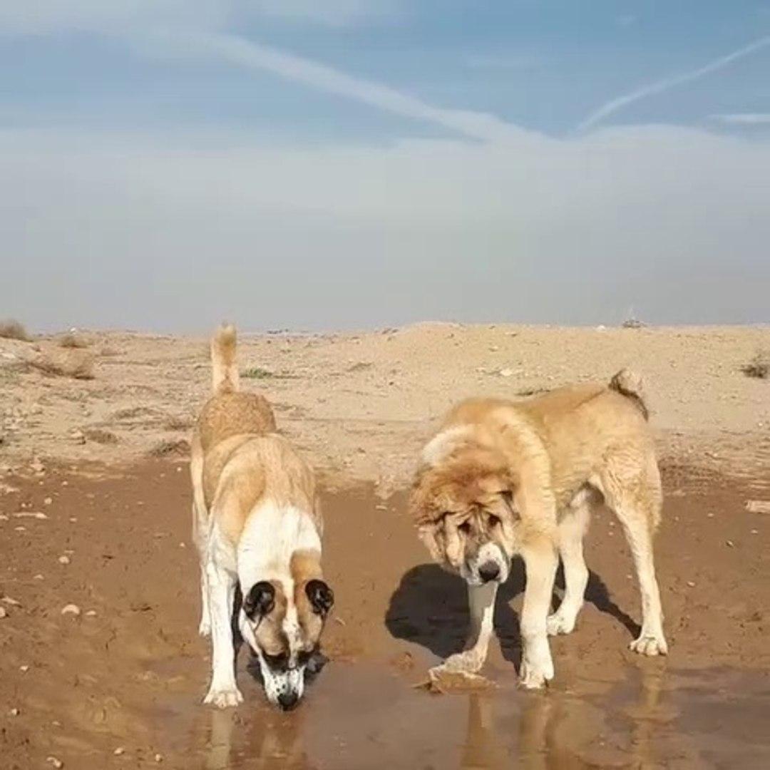 DEV iRAN COBAN KOPEKLERi - GiANT PERSiAN SHEPHERD DOG
