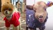 Pourquoi il ne faut pas faire porter d'habits à son animal | Le Speech d'Hélène Gateau, vétérinaire