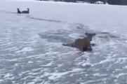Canada : il sauve trois cerfs pris au piège sur un lac gelé !