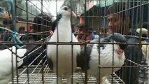 Bangladesh pigeons hat  Beautiful pigeons in dhaka mirpur