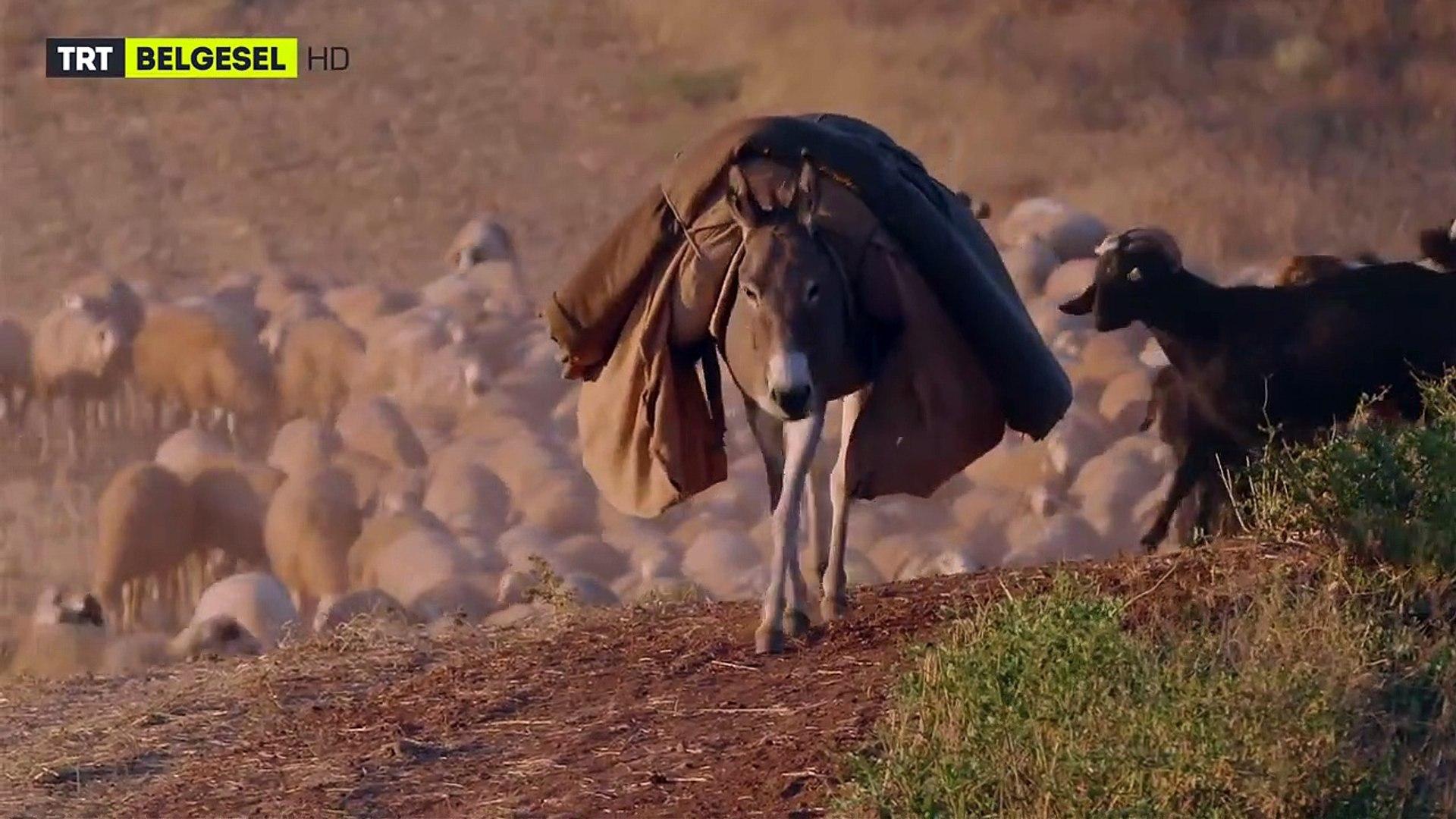 Sürüyü Kurtlardan Koruyan Bekçi Köpeklerin Bir Gecesi