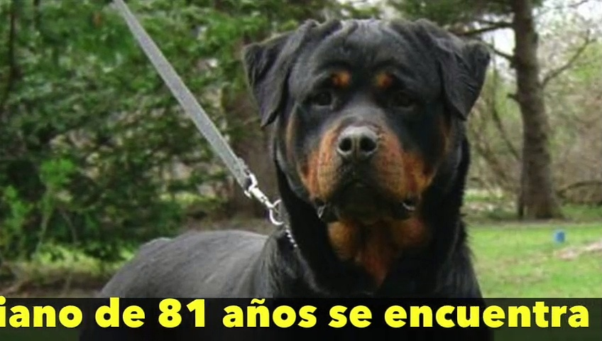 Tres perros rottweiler atacan y mutilan a un anciano que caminaba por la calle en Madrid