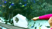 Pas si simple de manger un poisson pour une raie dans un aquarium