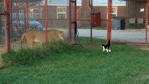 Un chat vient chercher les embrouilles à un lion