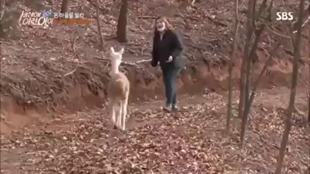알파카 (Alpaca, Vicugna pacos)