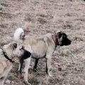 SİVAS kANGAL KOPERKLERi GOZLER HEDEFTE - KANGAL SHEPHERD DOGS