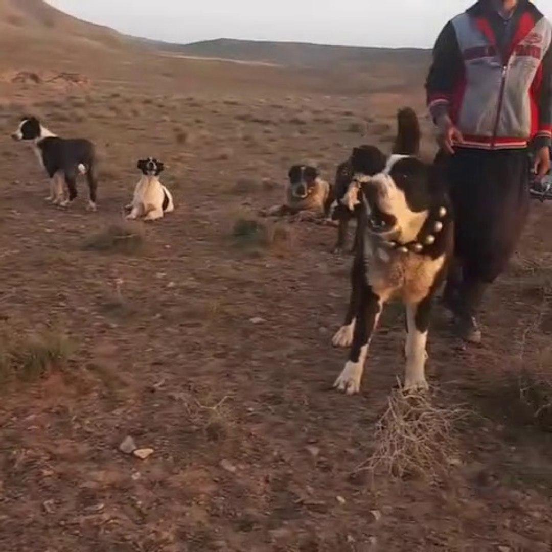 SERT VE TETiKTE iRAN COBAN KOPEKELRi - VERY ANGRY PERSiAN SHEPHERD DOGS