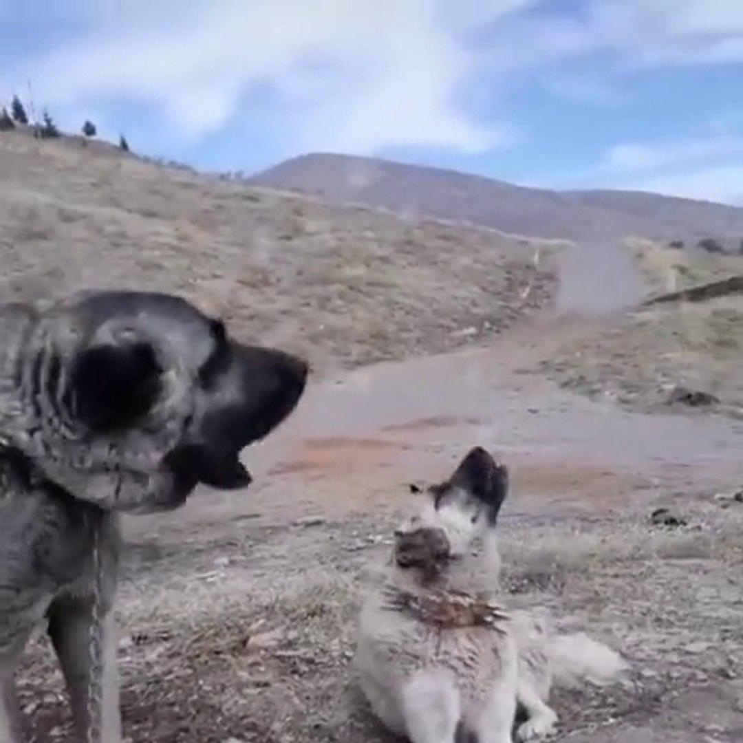 SiVAS KANGAL KOPEKLERi EZANI DUYUNCA - KANGAL SHEPHERD DOGS