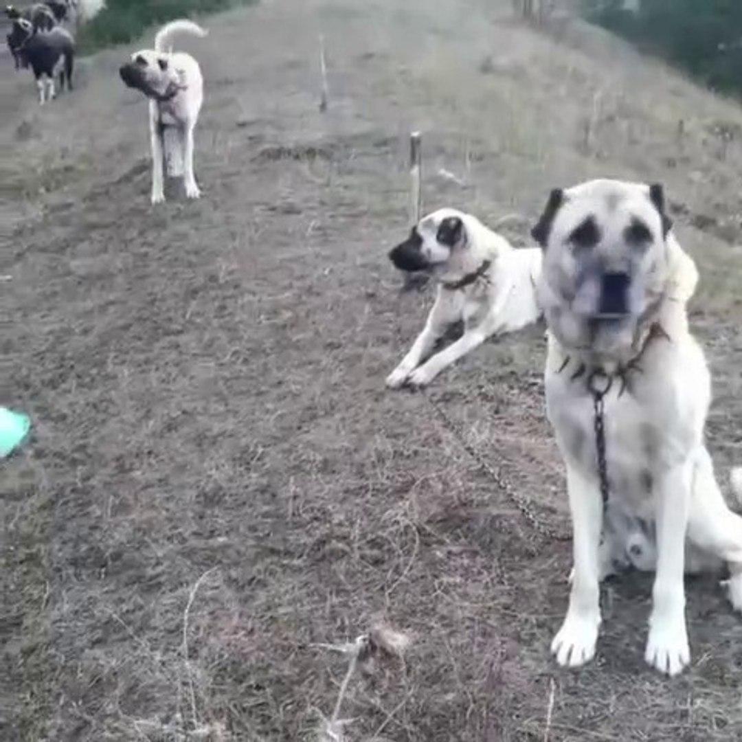ANADOLU ASLANLARI HAZIR KITA - ANATOLiAN SHEPHERD DOGS