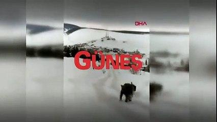 Kars Sarıkamış'ta eceline susamış köpekler boz ayının karşısına dikildi