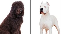 2 New Dog Breeds Recognized by the American Kennel Club