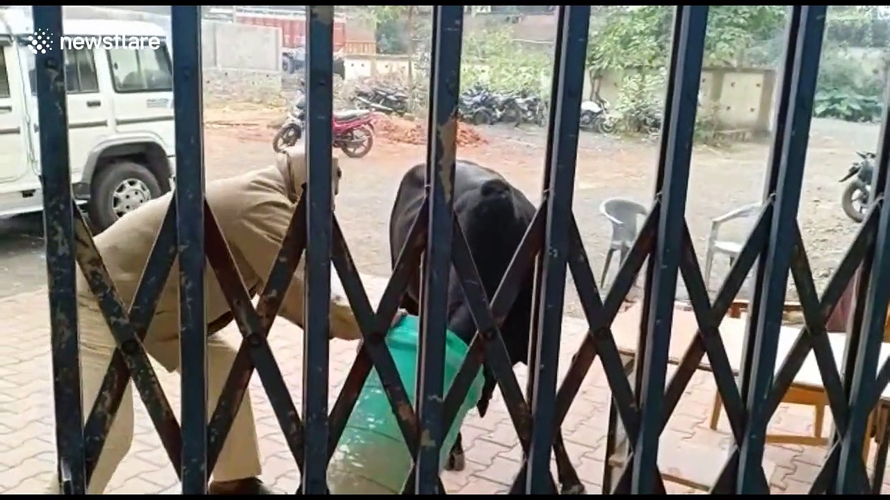 Curious bull gets head stuck in dustbin at Indian police station