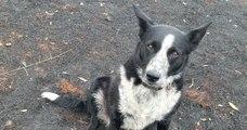 Un chien Border Collie aide son maitre à sauver un troupeau de moutons des feux de forêt en Australie