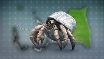 Plastic waste traps hermit 560,000 crabs on remote islands