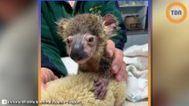 Le gouvernement Australien demande d'abattre  les animaux brûlés dans les incendies